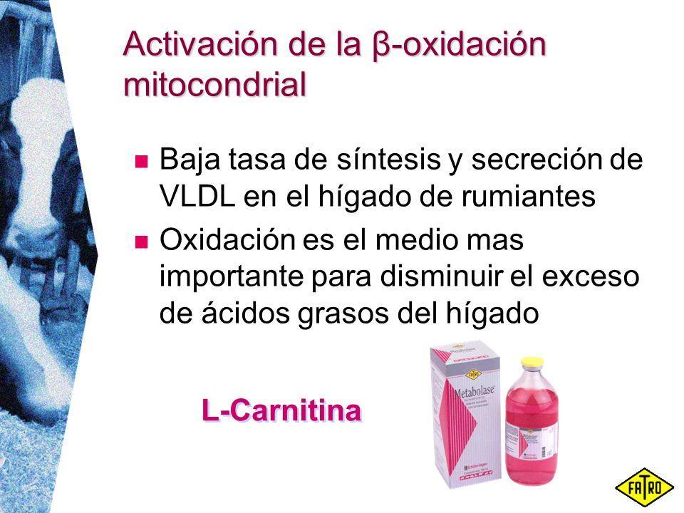 Activación de la β-oxidación mitocondrial Baja tasa de síntesis y secreción de VLDL en el hígado de rumiantes Oxidación es el medio mas importante par