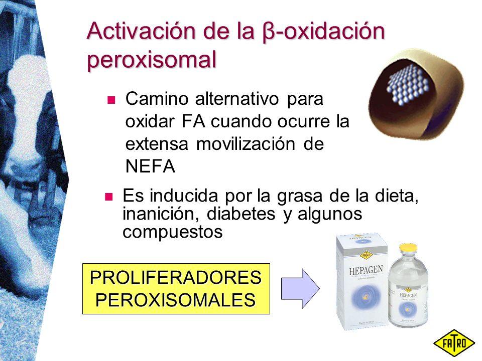Activación de la β-oxidación peroxisomal Camino alternativo para oxidar FA cuando ocurre la extensa movilización de NEFA Es inducida por la grasa de l