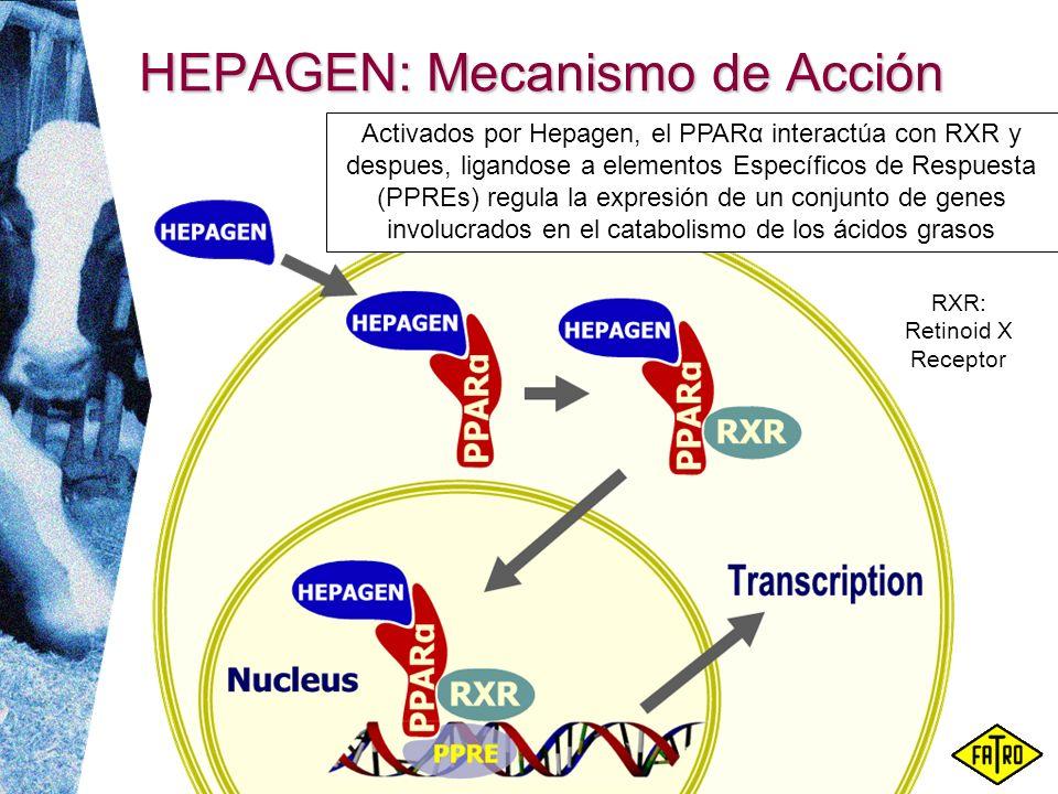 HEPAGEN: Mecanismo de Acción Activados por Hepagen, el PPARα interactúa con RXR y despues, ligandose a elementos Específicos de Respuesta (PPREs) regu