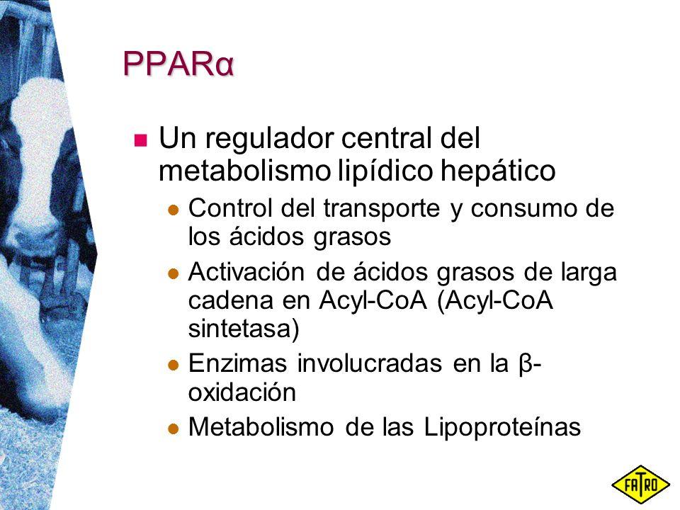 PPARα Un regulador central del metabolismo lipídico hepático Control del transporte y consumo de los ácidos grasos Activación de ácidos grasos de larg