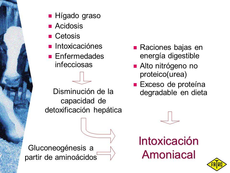 Intoxicación Amoniacal Raciones bajas en energía digestible Alto nitrógeno no proteico(urea) Exceso de proteína degradable en dieta Disminución de la