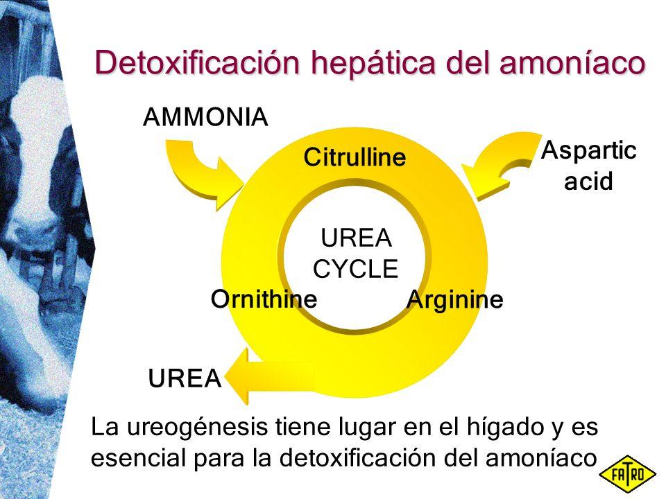 Detoxificación hepática del amoníaco La ureogénesis tiene lugar en el hígado y es esencial para la detoxificación del amoníaco Citrulline Arginine Orn