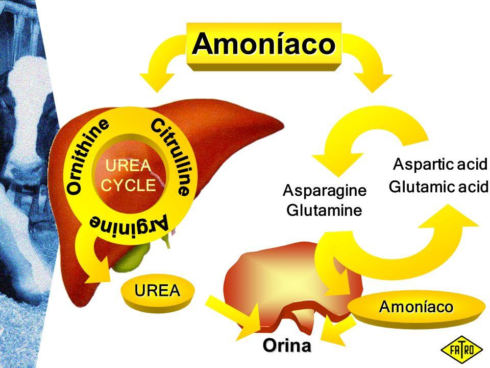 UREA Asparagine Glutamine Aspartic acid Glutamic acid Orina Amoníaco UREA CYCLE Amoníaco