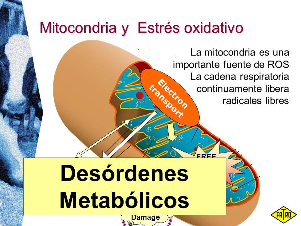 Mitocondria y Estrés oxidativo Calcium ATP La cadena respiratoria continuamente libera radicales libres Electron transport La mitocondria es una impor