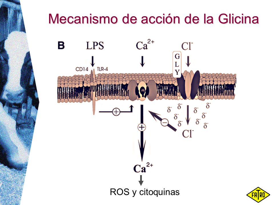 Mecanismo de acción de la Glicina ROS y citoquinas