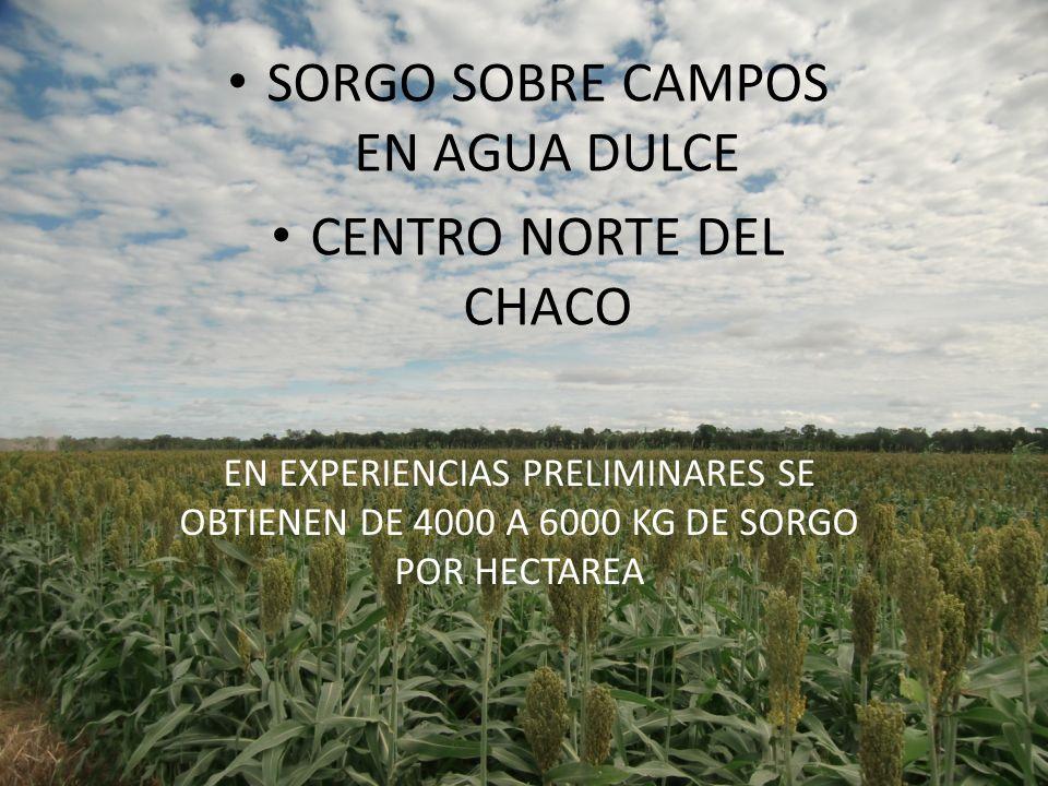 SORGO SOBRE CAMPOS EN AGUA DULCE CENTRO NORTE DEL CHACO EN EXPERIENCIAS PRELIMINARES SE OBTIENEN DE 4000 A 6000 KG DE SORGO POR HECTAREA