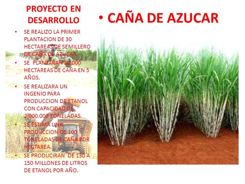PROYECTO EN DESARROLLO CAÑA DE AZUCAR SE REALIZO LA PRIMER PLANTACION DE 30 HECTAREAS DE SEMILLERO DE CAÑA DE AZUCAR. SE PLANTARAN 20.000 HECTAREAS DE