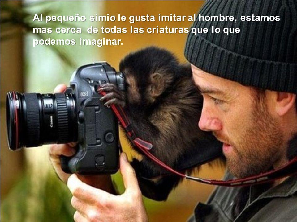 Al pequeño simio le gusta imitar al hombre, estamos mas cerca de todas las criaturas que lo que podemos imaginar Al pequeño simio le gusta imitar al h