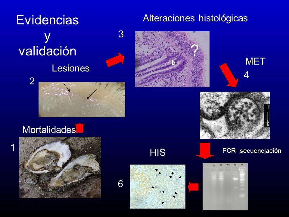 1 2 3 4 Evidencias y validación ? b 6 Mortalidades Lesiones Alteraciones histológicas MET PCR- secuenciación HIS