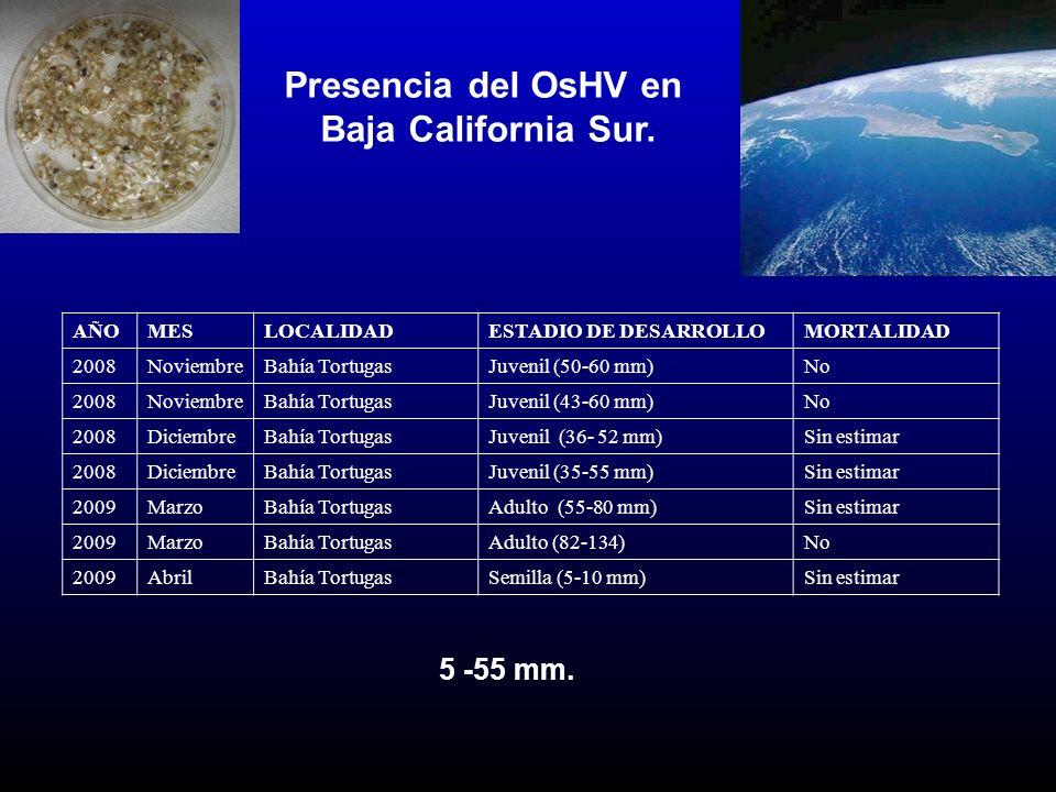 Presencia del OsHV en Baja California Sur. AÑOMES LOCALIDAD ESTADIO DE DESARROLLO MORTALIDAD 2008NoviembreBahía TortugasJuvenil (50-60 mm)No 2008Novie