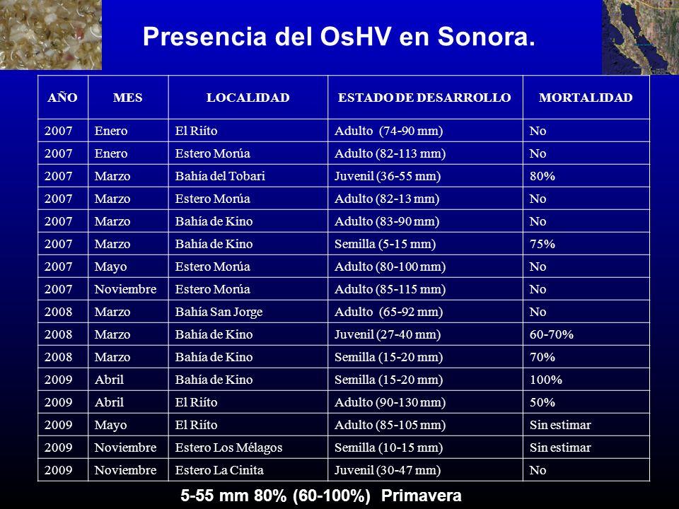 Presencia del OsHV en Sonora. AÑOMESLOCALIDADESTADO DE DESARROLLOMORTALIDAD 2007EneroEl RiítoAdulto (74-90 mm)No 2007EneroEstero MorúaAdulto (82-113 m
