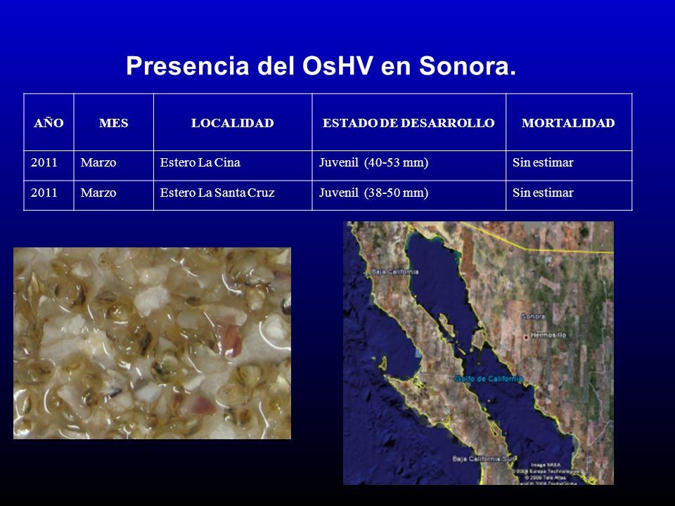 Presencia del OsHV en Sonora. AÑOMESLOCALIDADESTADO DE DESARROLLOMORTALIDAD 2011MarzoEstero La CinaJuvenil (40-53 mm)Sin estimar 2011MarzoEstero La Sa