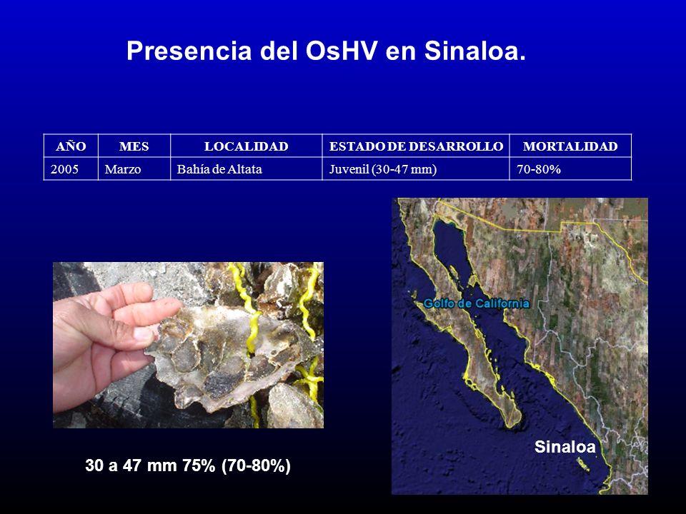AÑOMESLOCALIDADESTADO DE DESARROLLOMORTALIDAD 2005MarzoBahía de AltataJuvenil (30-47 mm)70-80% Sinaloa 30 a 47 mm 75% (70-80%) Presencia del OsHV en Sinaloa.