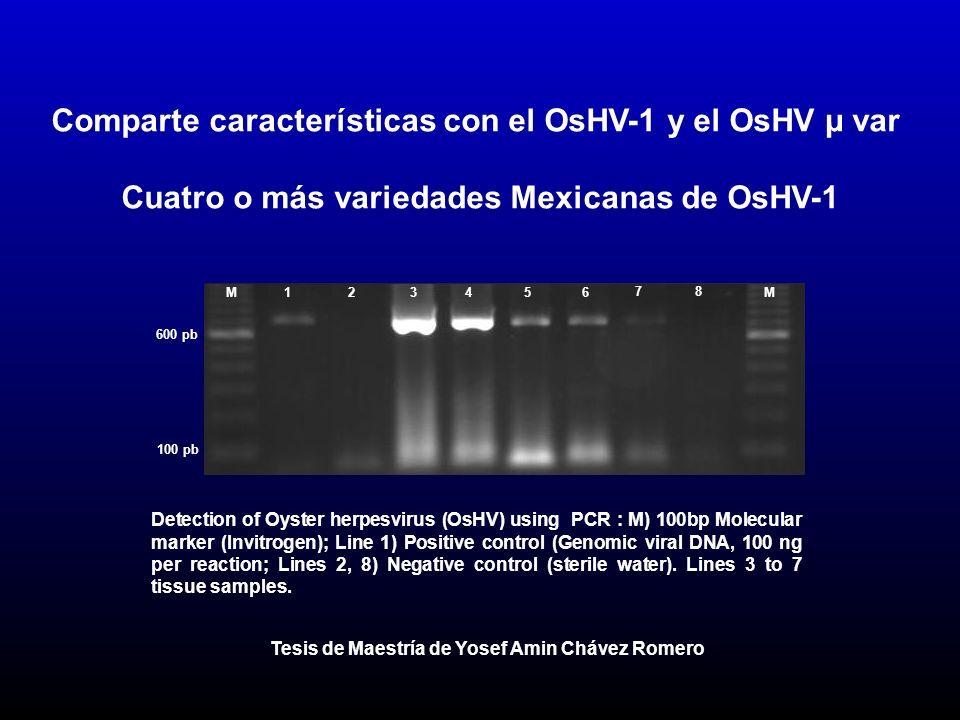 Comparte características con el OsHV-1 y el OsHV µ var Cuatro o más variedades Mexicanas de OsHV-1 Detection of Oyster herpesvirus (OsHV) using PCR : M) 100bp Molecular marker (Invitrogen); Line 1) Positive control (Genomic viral DNA, 100 ng per reaction; Lines 2, 8) Negative control (sterile water).