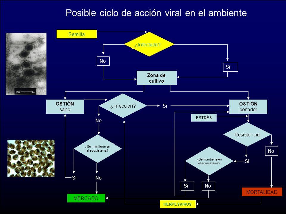 Posible ciclo de acción viral en el ambiente Semilla No Si Zona de cultivo OSTIÓN portador OSTIÓN sano ESTRÉS MORTALIDAD Resistencia Si No MERCADO SiNo HERPESVIRUS ¿Infección.
