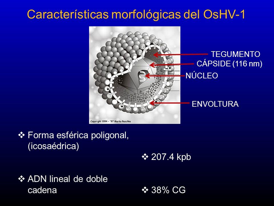 Forma esférica poligonal, (icosaédrica) ADN lineal de doble cadena 207.4 kpb 38% CG Características morfológicas del OsHV-1 NÚCLEO CÁPSIDE (116 nm) ENVOLTURA TEGUMENTO
