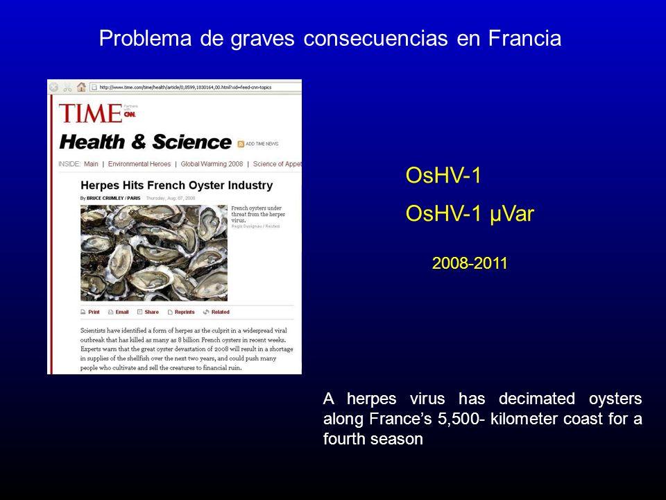 Problema de graves consecuencias en Francia OsHV-1 µVar 2008-2011 OsHV-1 A herpes virus has decimated oysters along Frances 5,500- kilometer coast for a fourth season