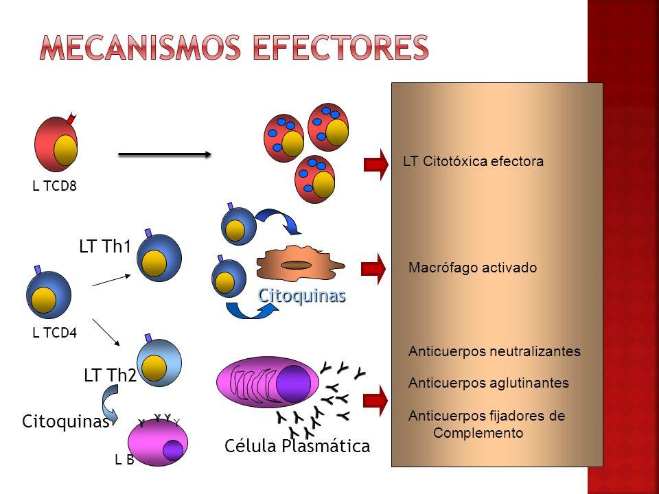 Anticuerpos neutralizantes Anticuerpos fijadores de Complemento Anticuerpos aglutinantes LT Citotóxica efectora Macrófago activado L TCD4 L B YY YY Ci