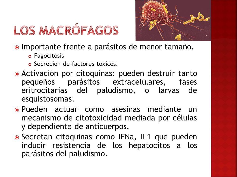 Importante frente a parásitos de menor tamaño. Fagocitosis Secreción de factores tóxicos. Activación por citoquinas: pueden destruir tanto pequeños pa