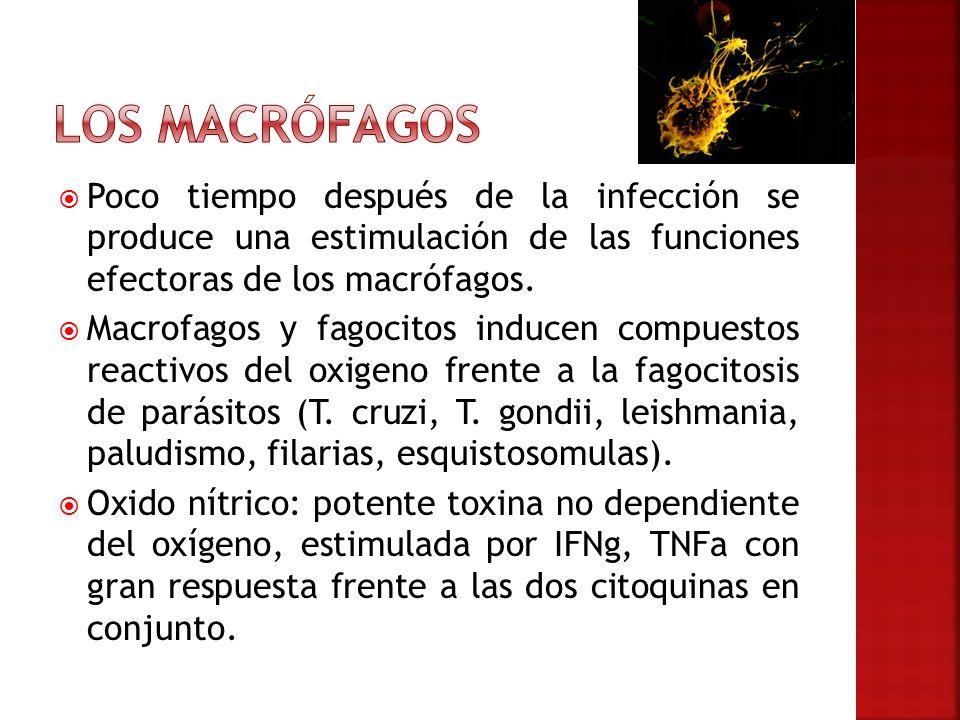 Poco tiempo después de la infección se produce una estimulación de las funciones efectoras de los macrófagos. Macrofagos y fagocitos inducen compuesto