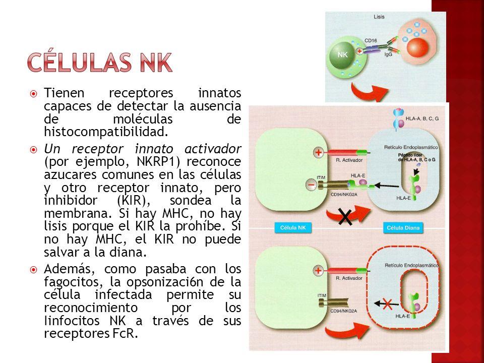 Tienen receptores innatos capaces de detectar la ausencia de moléculas de histocompatibilidad. Un receptor innato activador (por ejemplo, NKRP1) recon