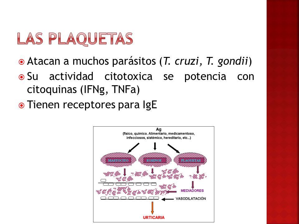 Atacan a muchos parásitos (T. cruzi, T. gondii) Su actividad citotoxica se potencia con citoquinas (IFNg, TNFa) Tienen receptores para IgE