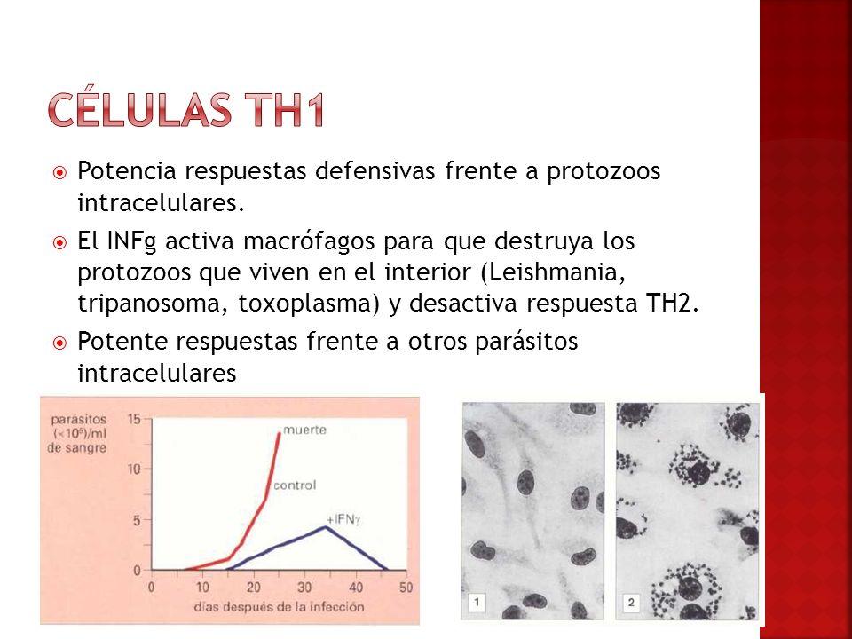 Potencia respuestas defensivas frente a protozoos intracelulares. El INFg activa macrófagos para que destruya los protozoos que viven en el interior (