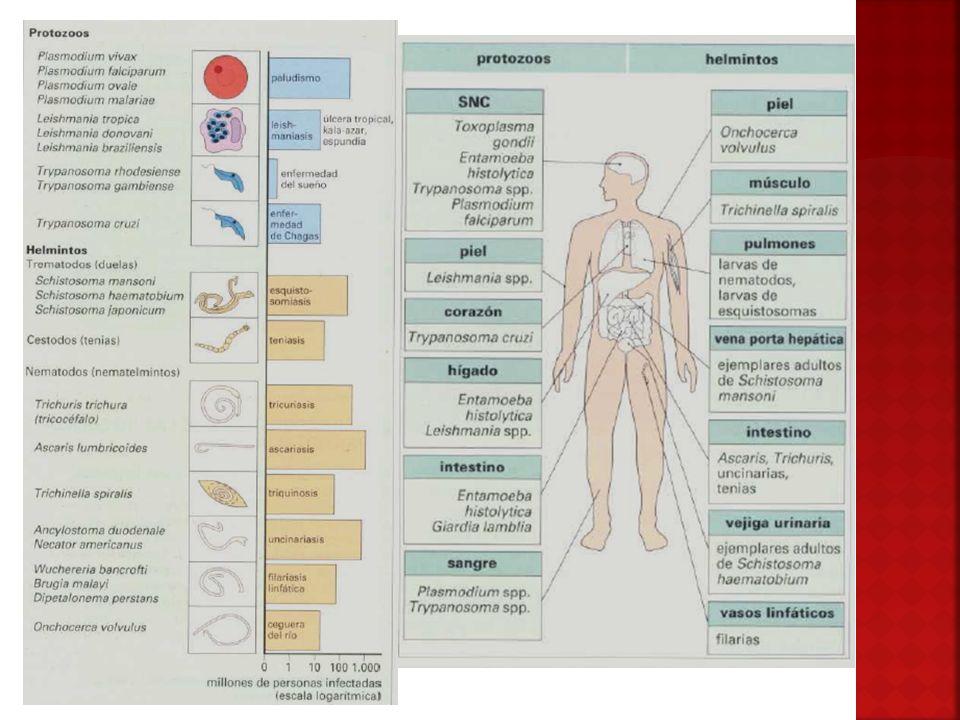 Desencadenan una serie mecanismos de defensa inmunitaria característicos.