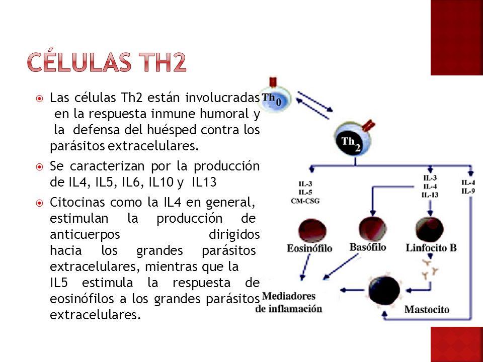 Las células Th2 están involucradas en la respuesta inmune humoral y la defensa del huésped contra los parásitos extracelulares. Se caracterizan por la