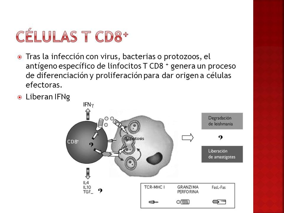 Tras la infección con virus, bacterias o protozoos, el antígeno específico de linfocitos T CD8 + genera un proceso de diferenciación y proliferación p