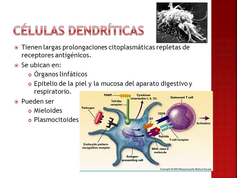 Tienen largas prolongaciones citoplasmáticas repletas de receptores antigénicos. Se ubican en: Órganos linfáticos Epitelio de la piel y la mucosa del