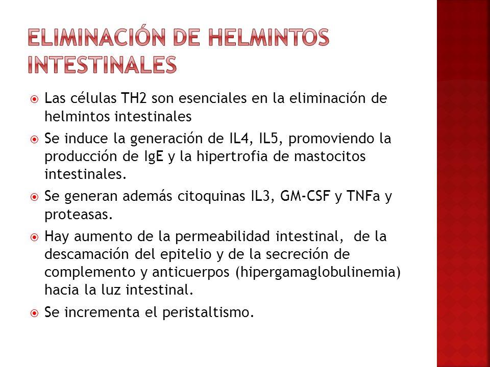 Las células TH2 son esenciales en la eliminación de helmintos intestinales Se induce la generación de IL4, IL5, promoviendo la producción de IgE y la