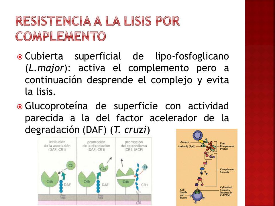Cubierta superficial de lipo-fosfoglicano (L.major): activa el complemento pero a continuación desprende el complejo y evita la lisis. Glucoproteína d
