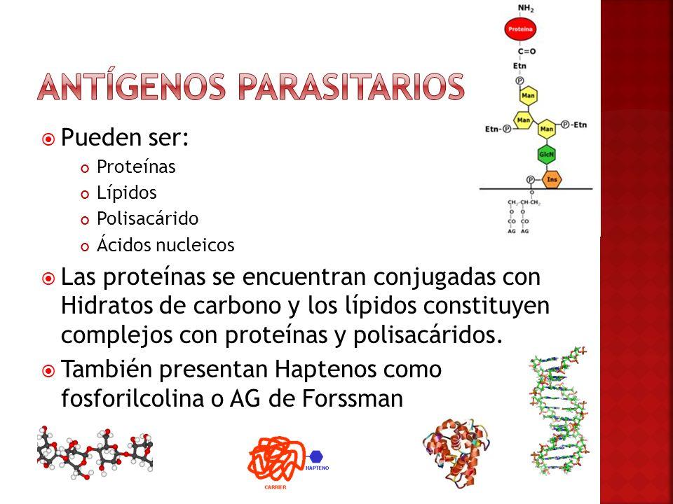AG Somáticos (estructurales o endoantígenos) Originan gran variedad de anticuerpos de una menor importancia, porque para su reconocimiento el parásito debe ser destruido.