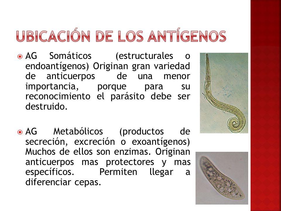 AG Somáticos (estructurales o endoantígenos) Originan gran variedad de anticuerpos de una menor importancia, porque para su reconocimiento el parásito