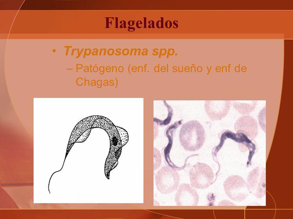 Flagelados Trypanosoma spp. –Patógeno (enf. del sueňo y enf de Chagas)
