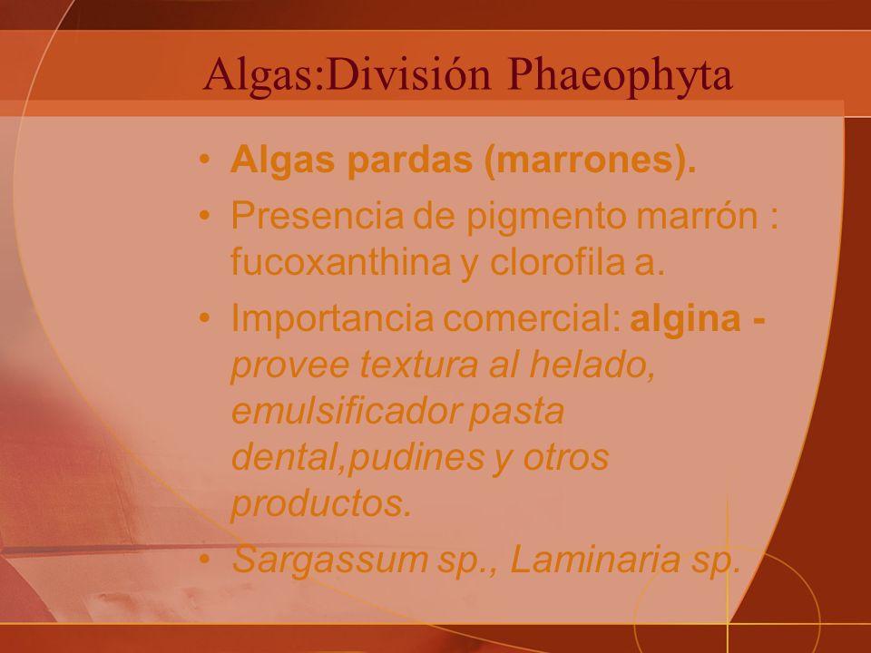 Algas:División Phaeophyta Algas pardas (marrones).