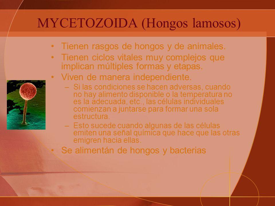 MYCETOZOIDA (Hongos lamosos) Tienen rasgos de hongos y de animales.