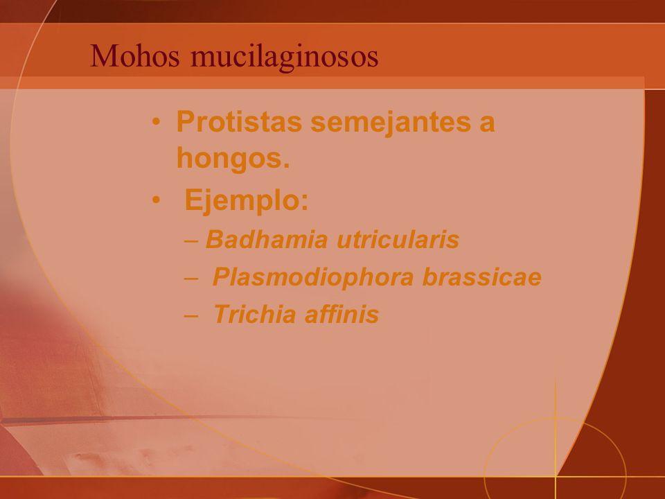 Mohos mucilaginosos Protistas semejantes a hongos.