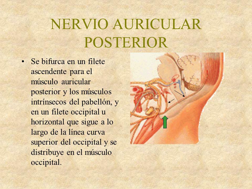 NERVIO AURICULAR POSTERIOR Se bifurca en un filete ascendente para el músculo auricular posterior y los músculos intrínsecos del pabellón, y en un filete occipital u horizontal que sigue a lo largo de la línea curva superior del occipital y se distribuye en el músculo occipital.