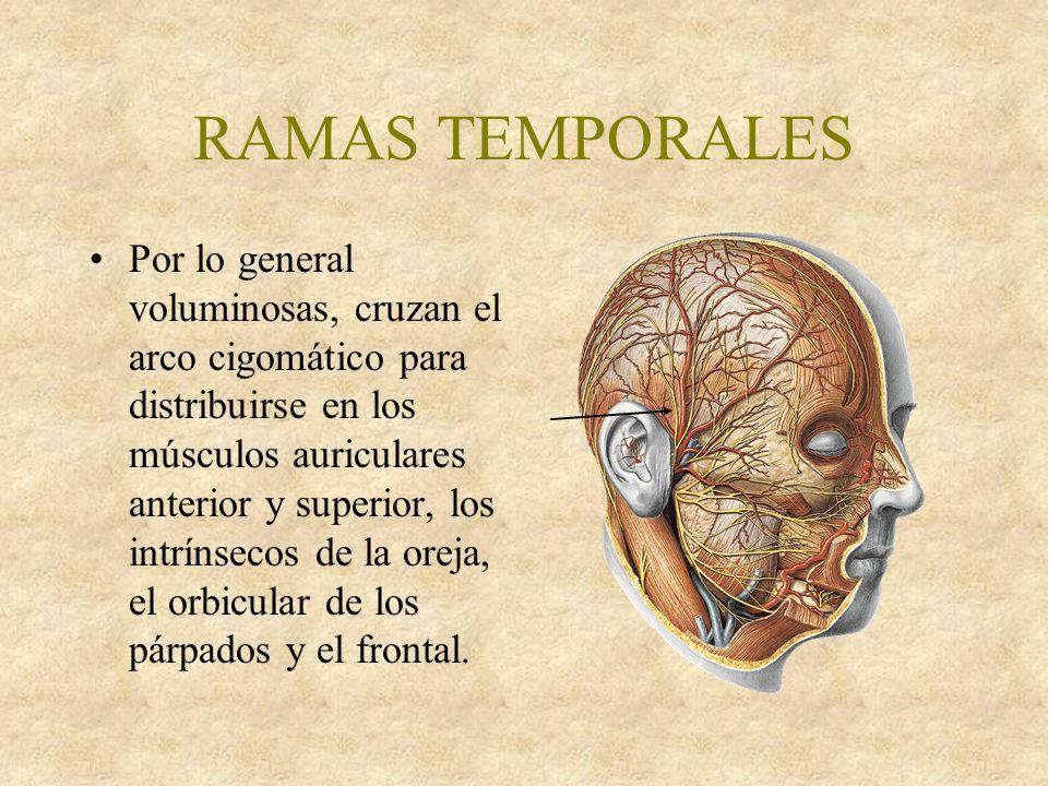 RAMAS TEMPORALES Por lo general voluminosas, cruzan el arco cigomático para distribuirse en los músculos auriculares anterior y superior, los intrínsecos de la oreja, el orbicular de los párpados y el frontal.