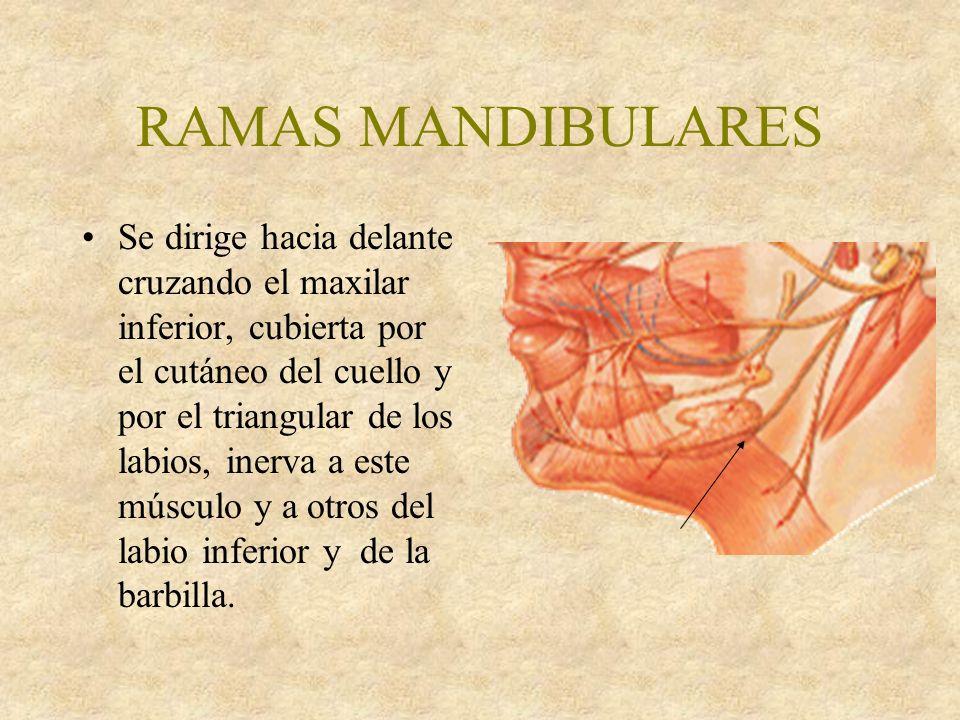 RAMAS MANDIBULARES Se dirige hacia delante cruzando el maxilar inferior, cubierta por el cutáneo del cuello y por el triangular de los labios, inerva a este músculo y a otros del labio inferior y de la barbilla.