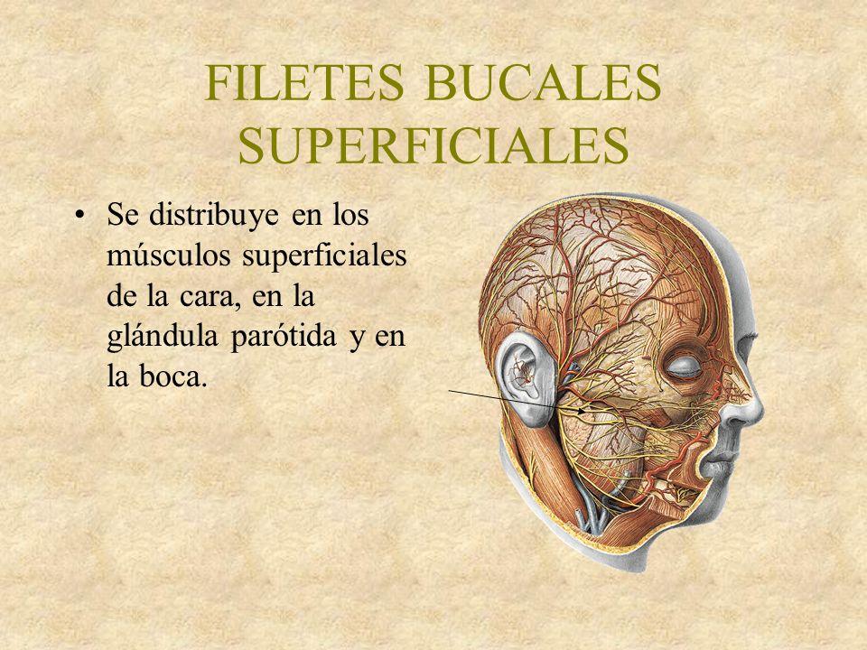 FILETES BUCALES SUPERFICIALES Se distribuye en los músculos superficiales de la cara, en la glándula parótida y en la boca.