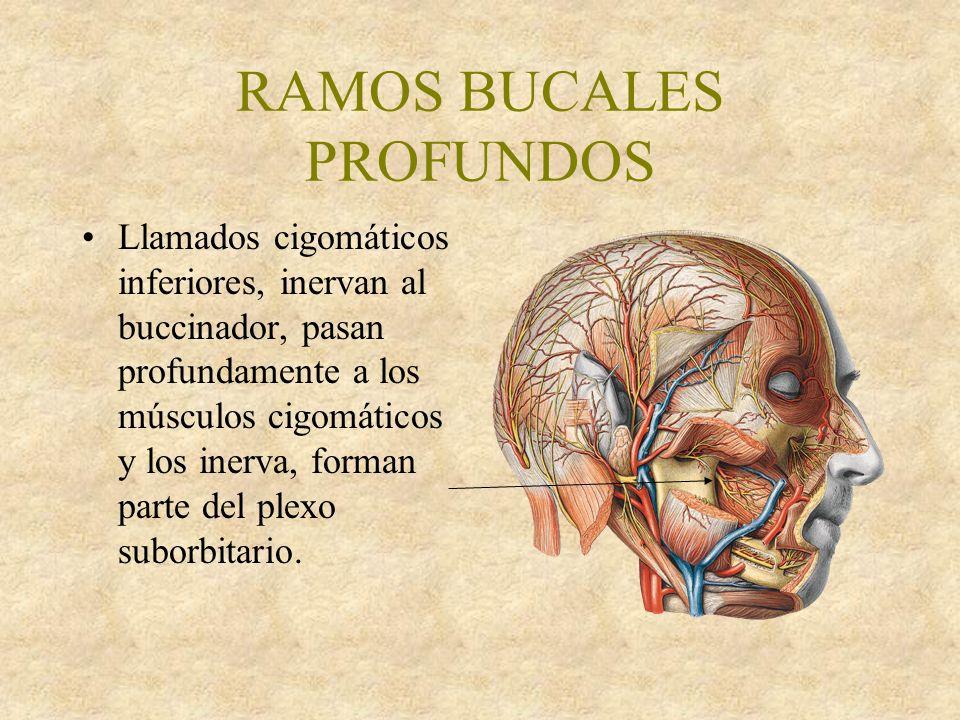 RAMOS BUCALES PROFUNDOS Llamados cigomáticos inferiores, inervan al buccinador, pasan profundamente a los músculos cigomáticos y los inerva, forman parte del plexo suborbitario.
