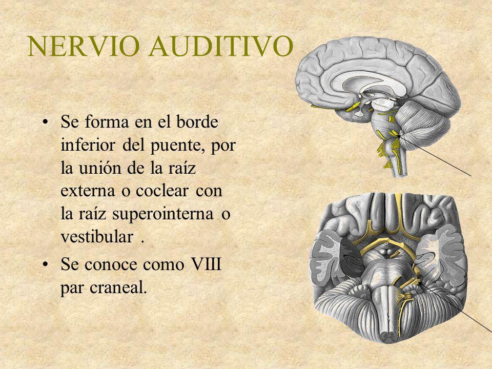 NERVIO AUDITIVO Se forma en el borde inferior del puente, por la unión de la raíz externa o coclear con la raíz superointerna o vestibular.