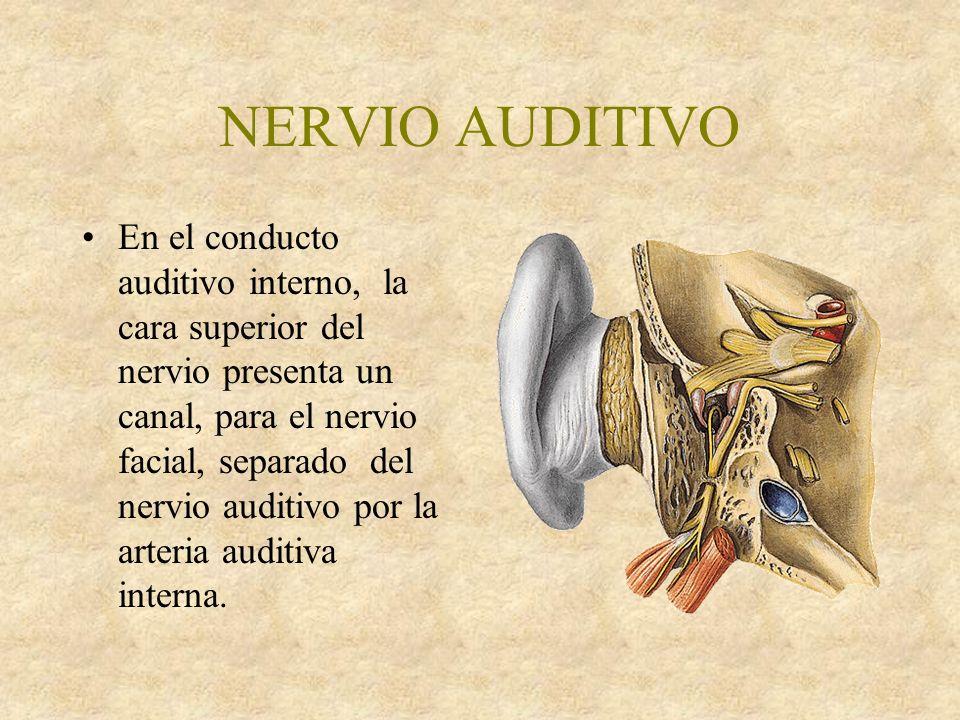 NERVIO AUDITIVO En el conducto auditivo interno, la cara superior del nervio presenta un canal, para el nervio facial, separado del nervio auditivo por la arteria auditiva interna.
