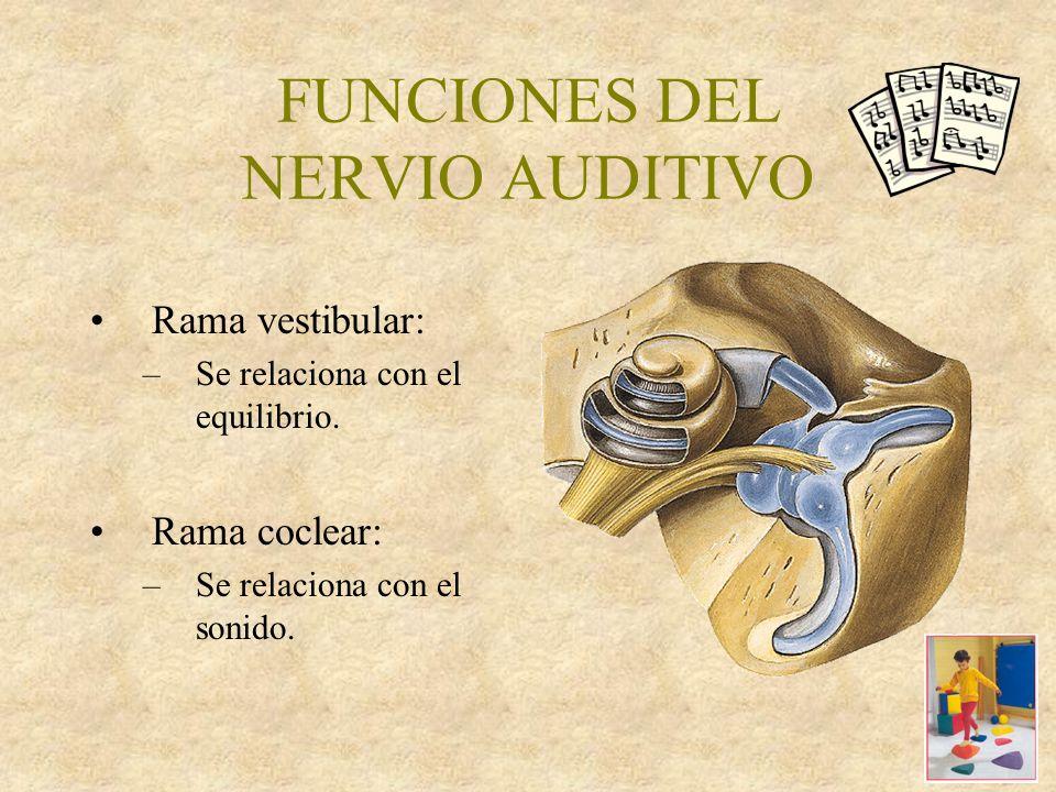 FUNCIONES DEL NERVIO AUDITIVO Rama vestibular: –Se relaciona con el equilibrio.