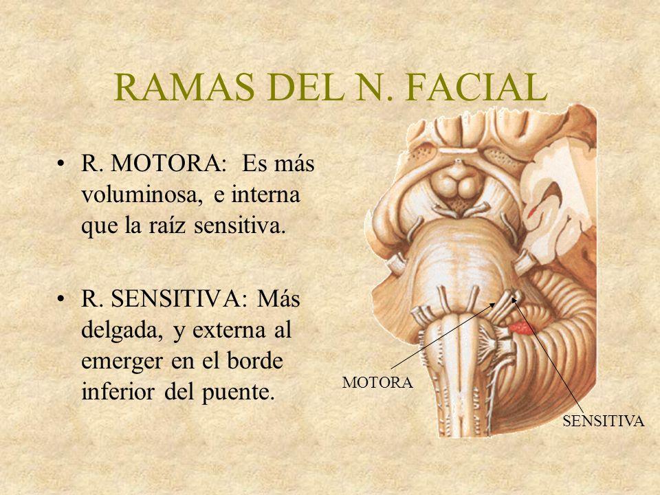 RAMAS DEL N.FACIAL R. MOTORA: Es más voluminosa, e interna que la raíz sensitiva.