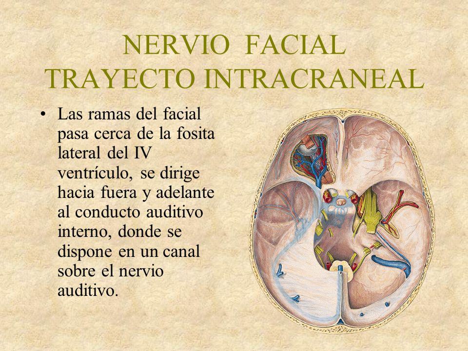 NERVIO FACIAL TRAYECTO INTRACRANEAL Las ramas del facial pasa cerca de la fosita lateral del IV ventrículo, se dirige hacia fuera y adelante al conducto auditivo interno, donde se dispone en un canal sobre el nervio auditivo.