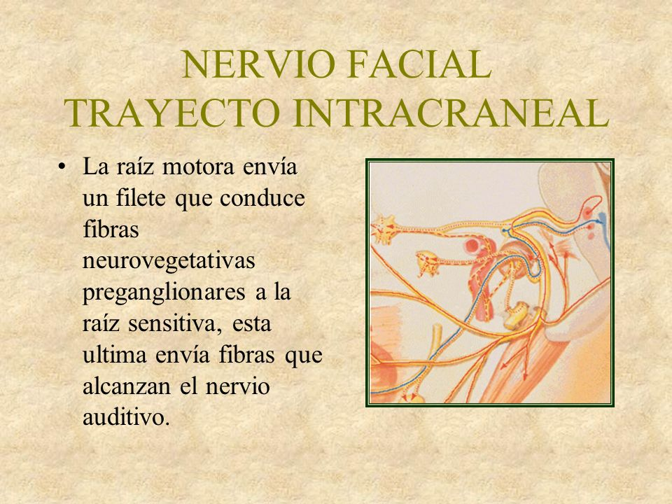 NERVIO FACIAL TRAYECTO INTRACRANEAL El nervio facial llega al conducto del facial o de Falopio del temporal, cruza por arriba el vestíbulo del oído interno, alcanzando la pared interna del reccesus epitimpánico.